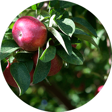 Apple tree - natural Daily Vitamins