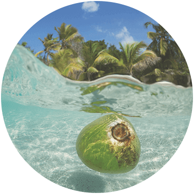 Coconuts floating in the sea, palm trees in the background